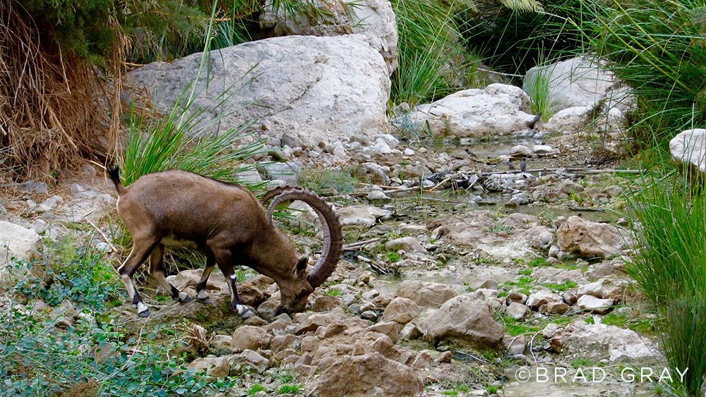 Ibex Drinking (Brad Gray)