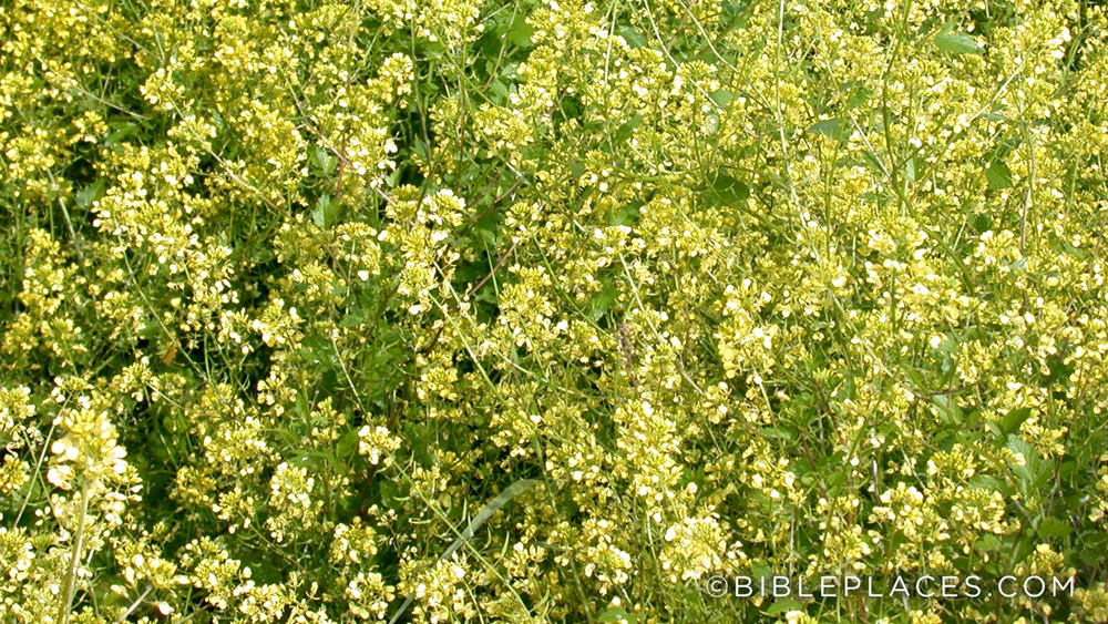 Mustard Plant (Bible Places)