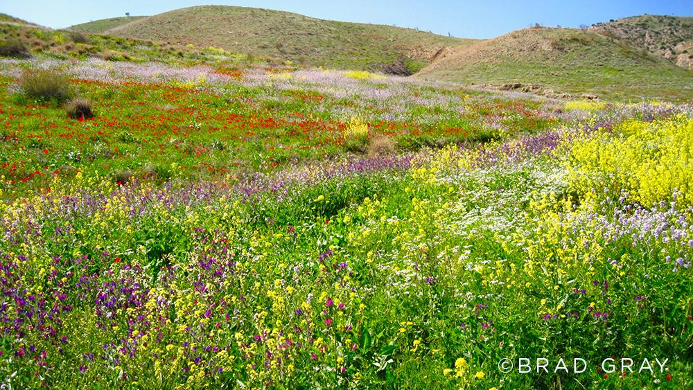 Spring Flowers (Galilee) – Version 2