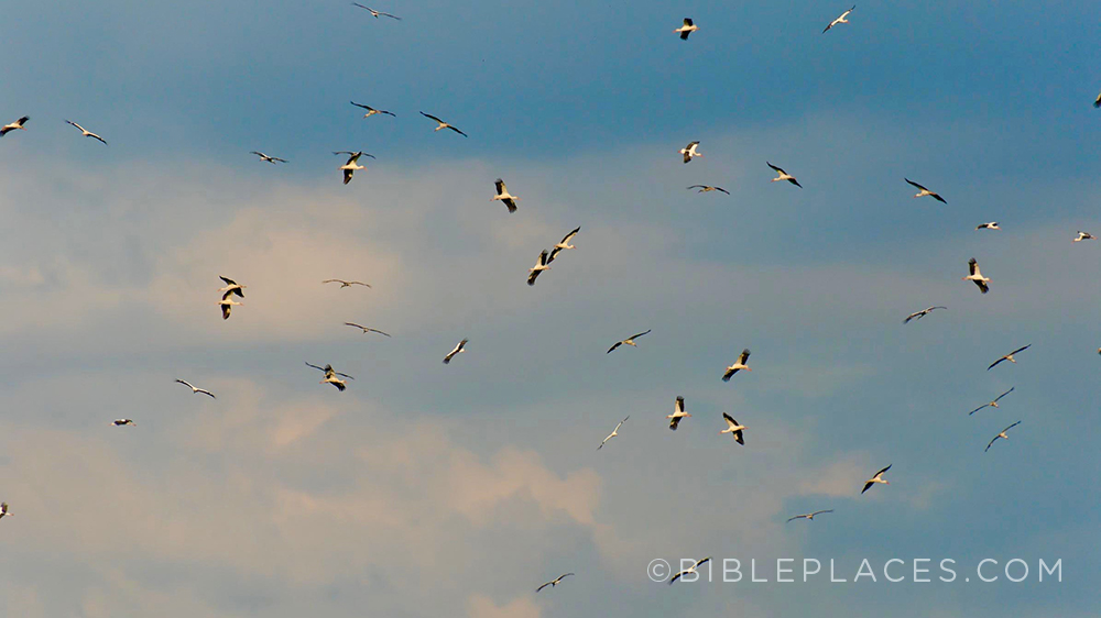 Storks in Galilee (BiblePlaces.com)
